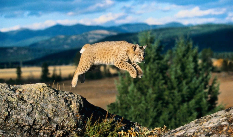 рыси, рысь, bobcat, прыжок,