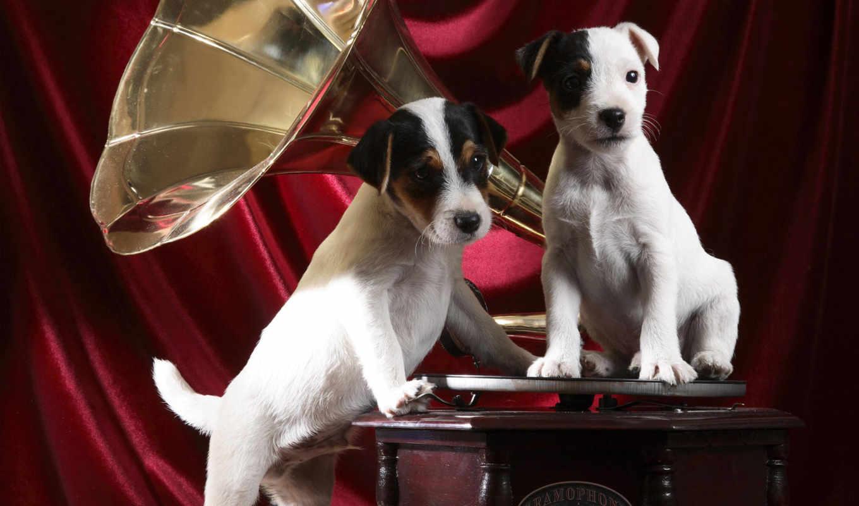граммофон, pups, resolutions, animals, desktop,