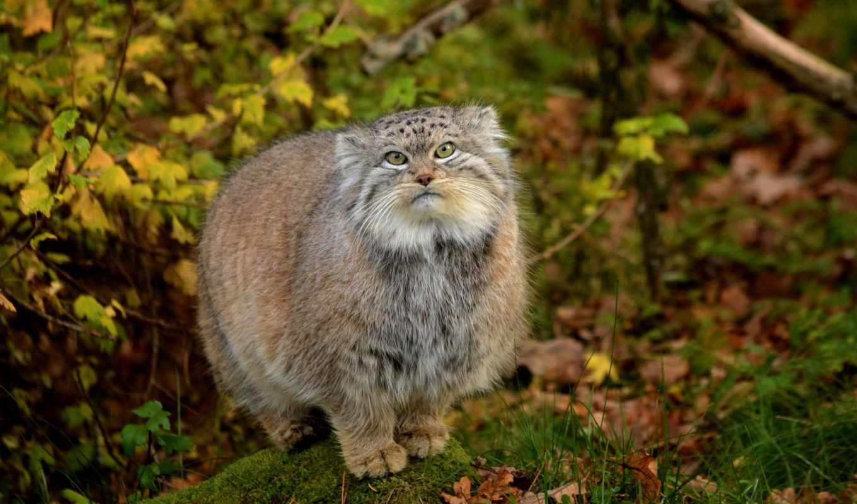 манул, кот, zhivotnye, природа, serious,