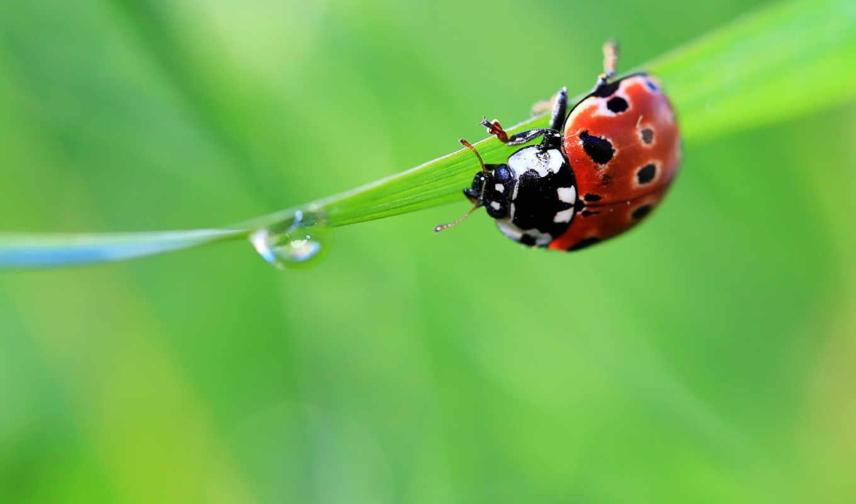 ladybug, животные,