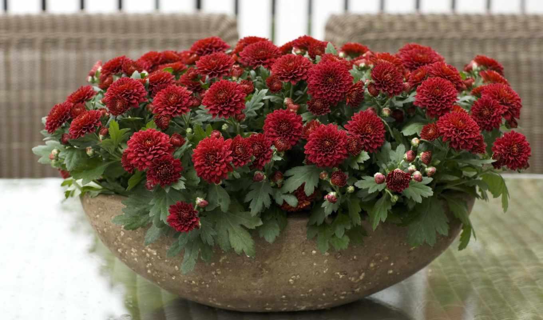 цветы, хризантемы, community, цитата, прочитать, сообщения, целикомв, цитатник, свой, только,