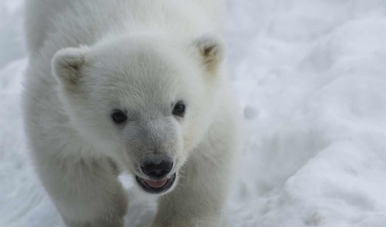 white, медведь,