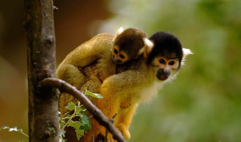 обезьяны, обезьяна, саймири, zhivotnye, беличьи, белки, jungle,