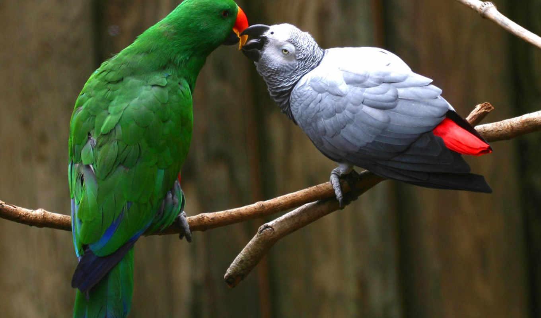 african, grey, попугай, eclectus, more, parrots, see, об, birds,
