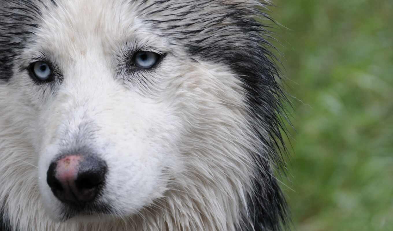 хаска, собака, wet, морда, порода, красивый, siberian, animal, ezdovoi, previe