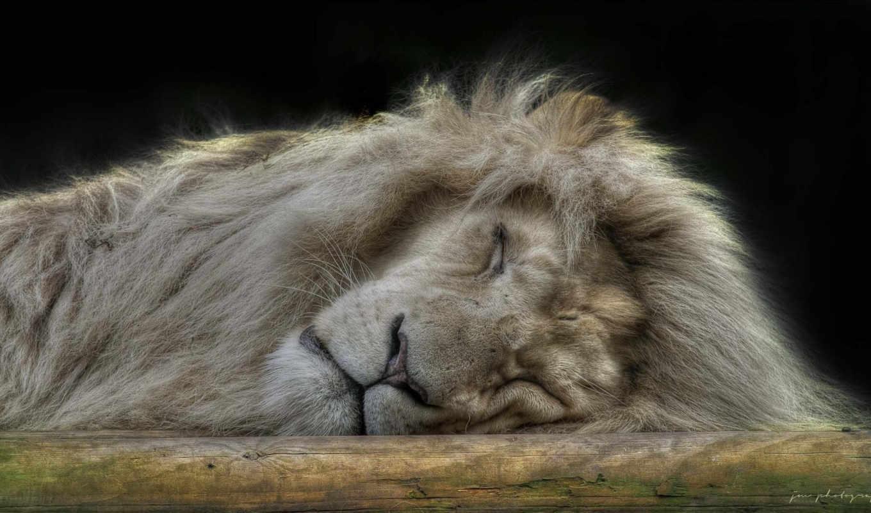 животные, лев, зверей, львы, царь, дикая,