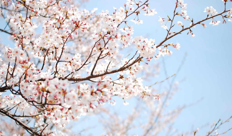 vesna, широкоформатные, цветение,