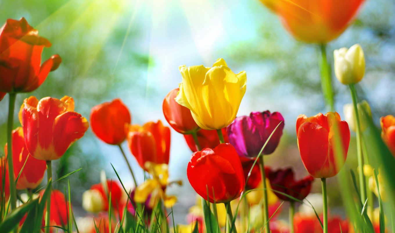 фотообои, cvety, тюльпаны, заказ, flowers,