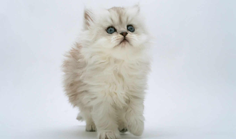 кот, белый, кота, про,