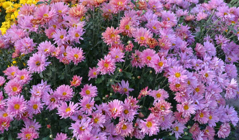 цветы, розовый, много, хризантемы, desktop, für, hintergrundbilder, kostenlose, página, para,