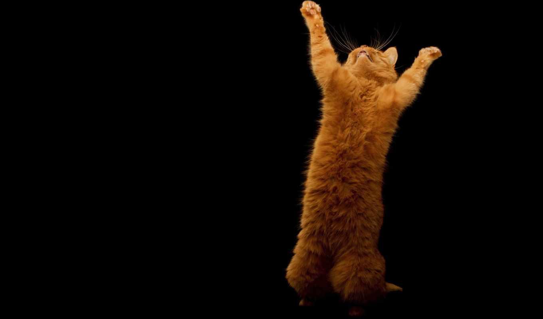 kot, рыжий,