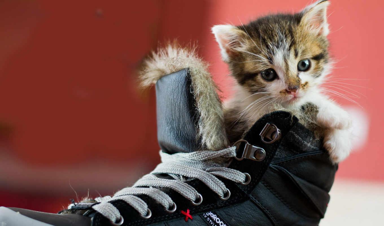 кот, котенок, score, туфли, ботинке, баллы, ботинок, ботинки,