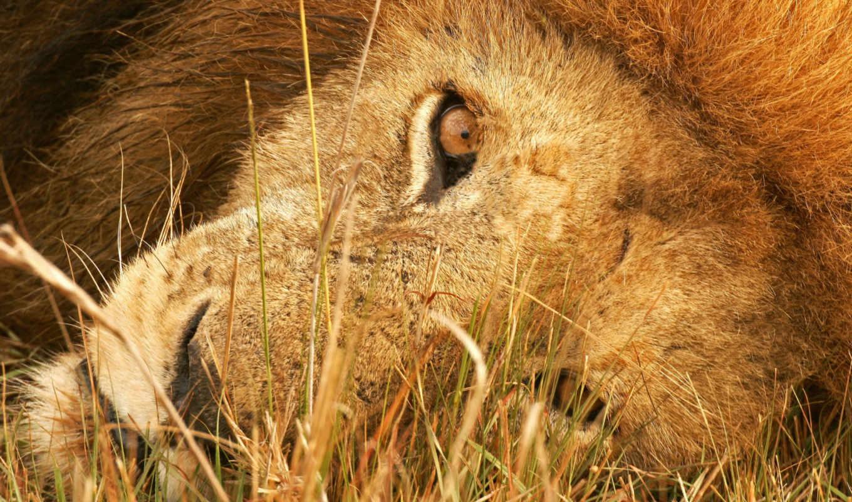 lion, смотреть, красивые,