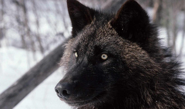волки, волков, волк, волка, вопрос, животных, тыс, ответить, домашних, everything,