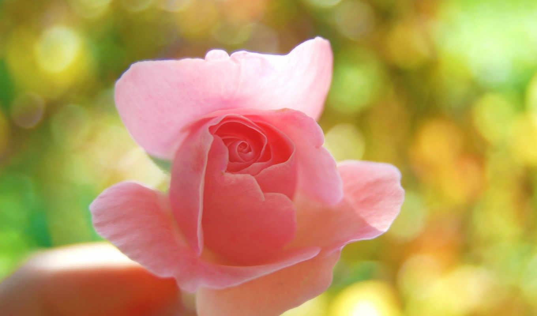 роза, розовая, макро, цветок,