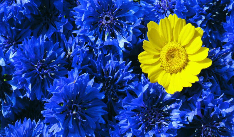 blue, yellow, контрастность, васильки, цветы,