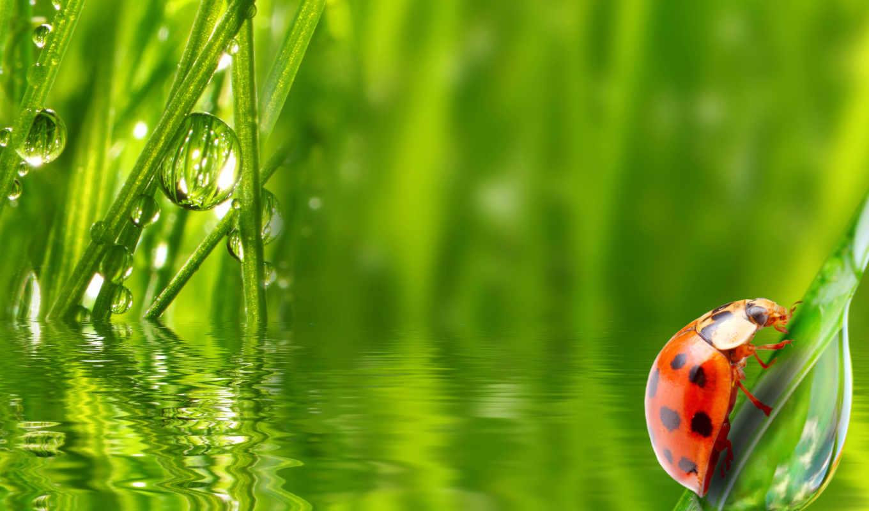 божья, korovka, насекомое, трава,