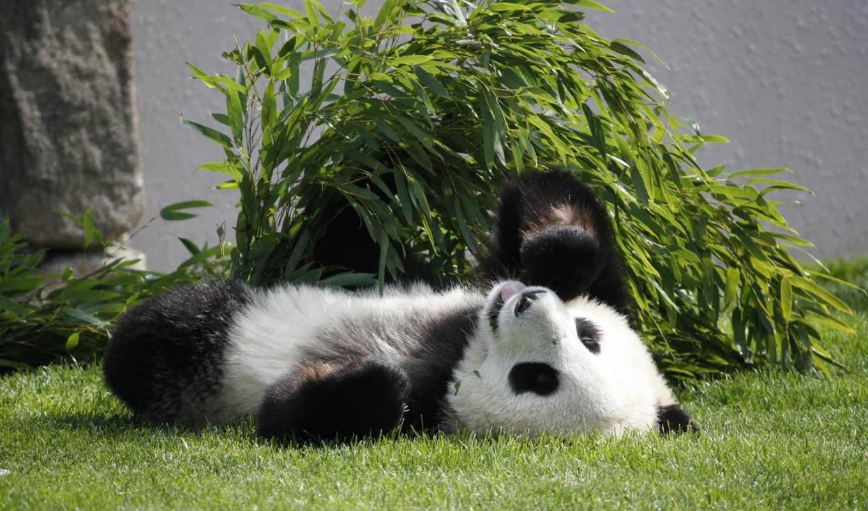 панда, медведь, browse, branch, дерево,