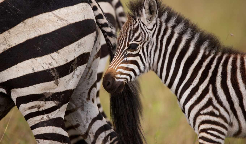 зебры, зооклубе, животных,