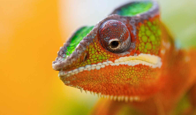 chameleon, snail, маскировка, zhivotnye, reptile,