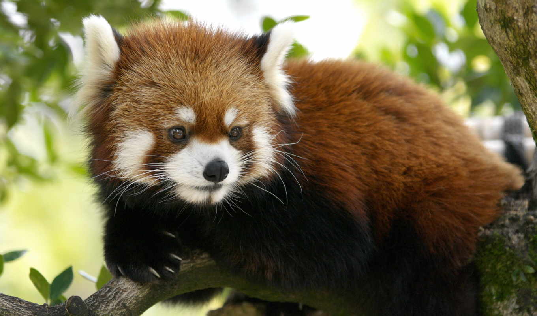 панда, красная, кот, малая,