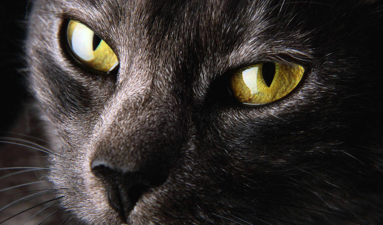 глаза, кошачьи, гетерохромия, how, кошки, кошек, разные, желтые,
