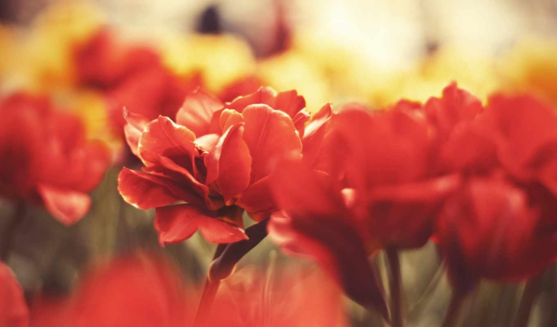 лепестки, красные, макро, цветы тюльпаны, макро, красные макро, гроздь,