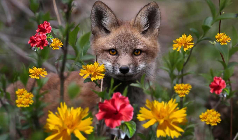фокс, cvety, лисы, природа, коллекция, лучшая, цветов, уже, загружено,