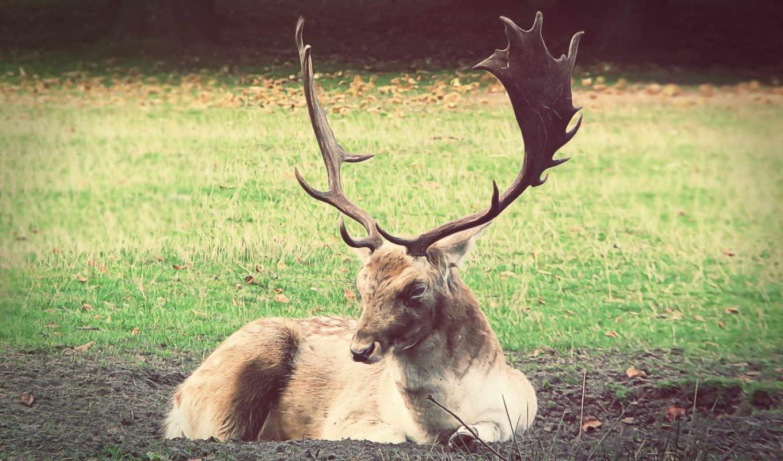 deer, fallow, рога, wildlife, трава, лес, опушка, part, pictures, image, photos,