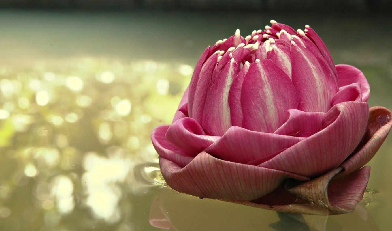 flowers, цветок, lotus, nature, вода, lily, картинка, отражение,