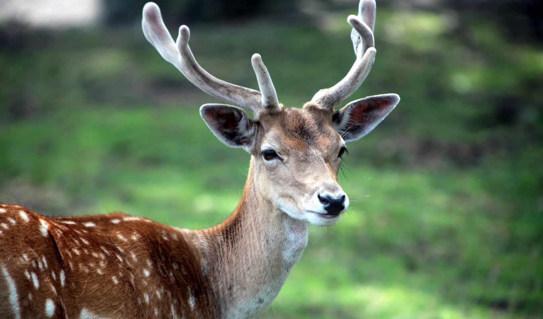 олень, животное, рога, природа, лес, животные, трава,