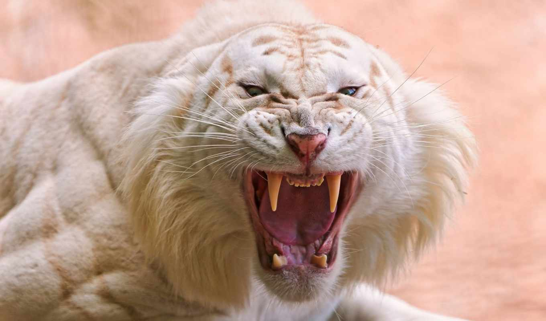 тигр, white, tigger, клыки,
