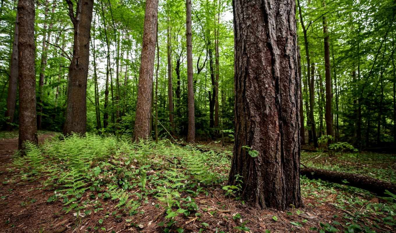 дерево, лес, природа, trees, ствол, стиль, wood, banyan, land, могучие, взгляд,