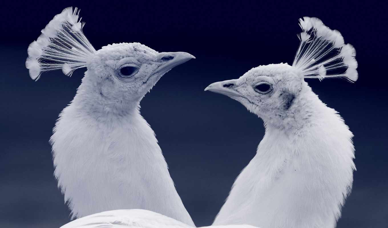 птицы, zhivotnye, птица, fotohomka, peacocks, live,