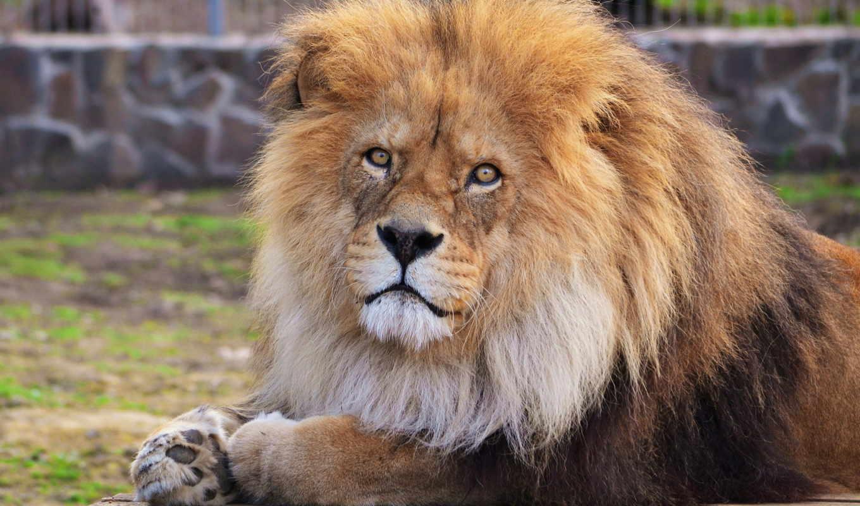 lion, морда, грива, лежит, взгляд,