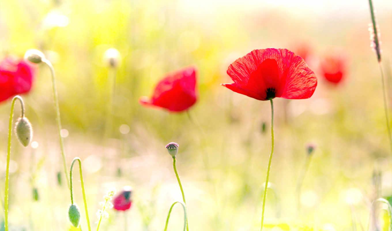 flowers, desktop, май, poppy, маки, весна, цветы,
