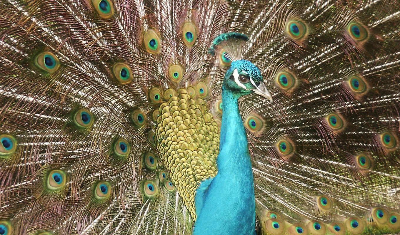 peacock, free, desktop, you,