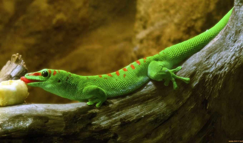 european, ящер, зелёный, нас, lacerta, viridis,