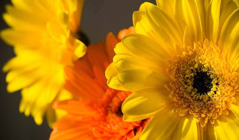 wallpaper, цветы, макро, желтые, желтый, оранжевые, flowers, hd, yellow, оранжевый,, flower,
