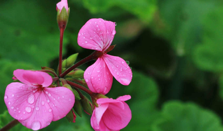 flower, focus, макро,