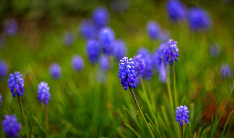 синие, цветы, макро, размытость, мускари,