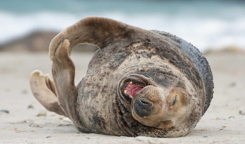 море, тюлень, радость, смех, морские, картинка, русалка, котики,