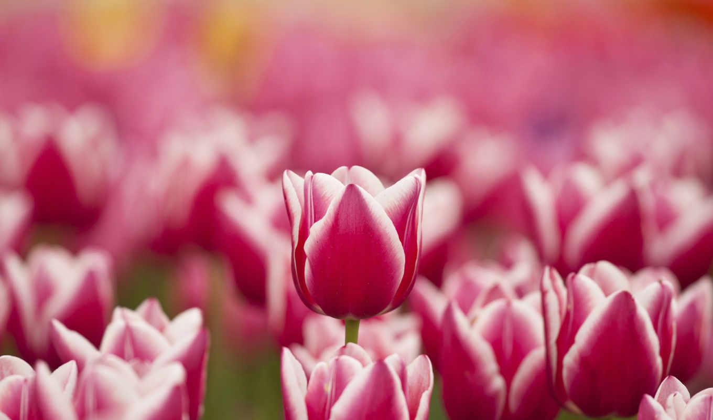 цветы, тюльпаны, розовые, белые, весна,