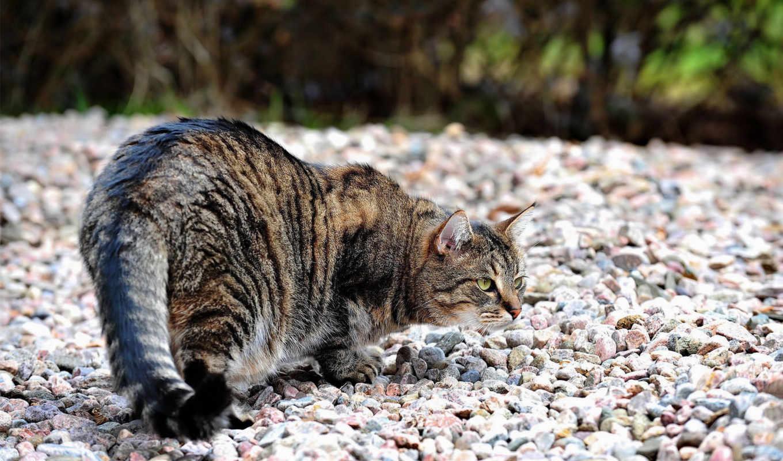 кошки, kot, кошка, охота, охоте, кошек, кот, камни, морда,