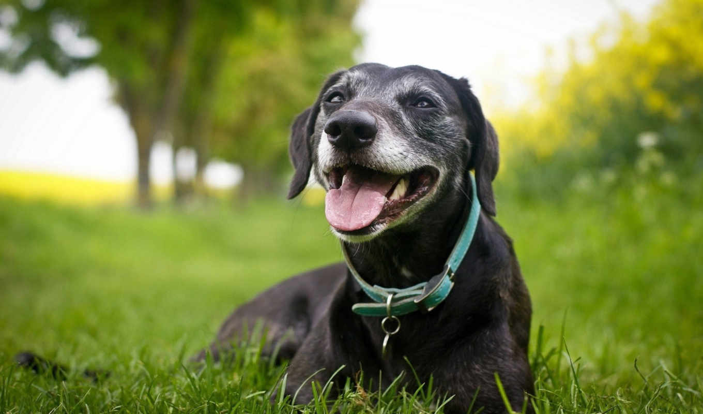 , собака, ошейник, морда, язык, трава