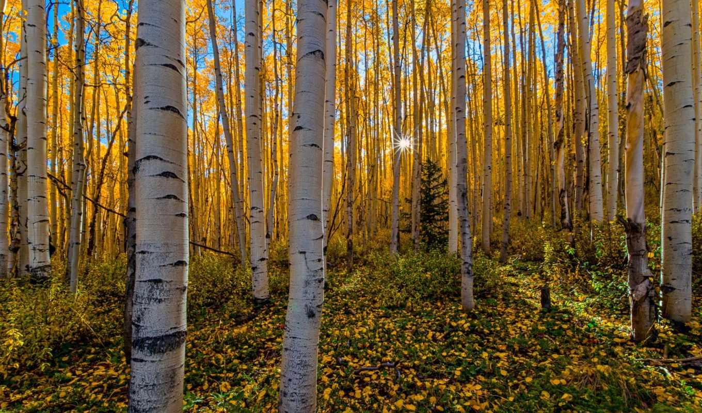 осень, березы, солнце, лучи, лес,