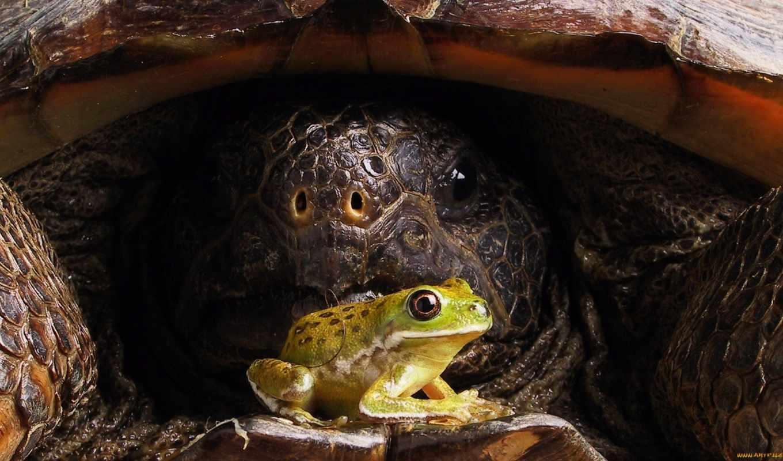 черепаха, лягушка, панцирь, просмотреть,