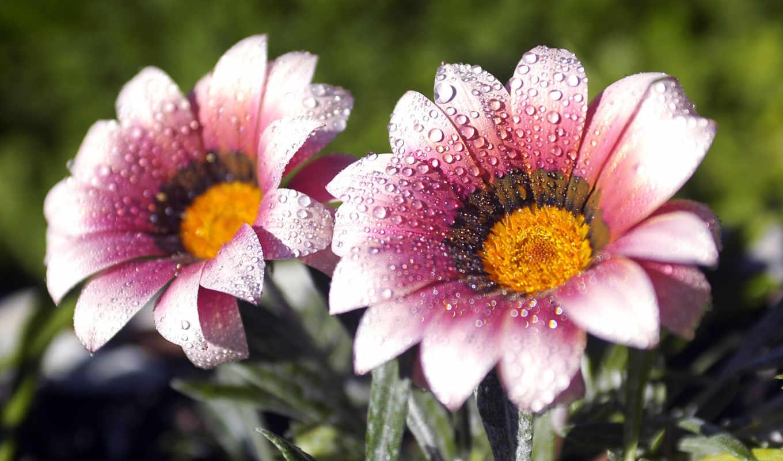 цветы, макро, drops, роса,