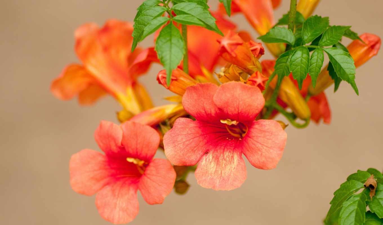 кампсис, цветы, текома,