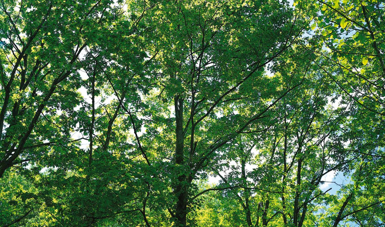 cd, 檀香是指来自santalum, santalaceae, video, дерево,